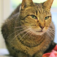 Domestic Shorthair Cat for adoption in Lovingston, Virginia - Lynx