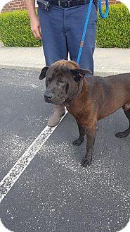 Shar Pei/Labrador Retriever Mix Dog for adoption in Mount Sterling, Kentucky - Digger