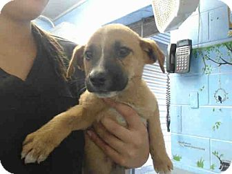 German Shepherd Dog Mix Puppy for adoption in San Bernardino, California - URGENT on 10/7 SAN BERNARDINO