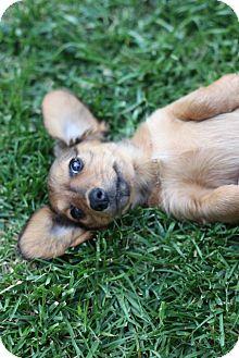 Dachshund/Chihuahua Mix Puppy for adoption in Lodi, California - Penelope