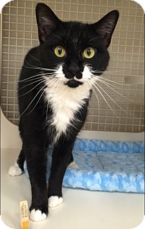 Domestic Shorthair Cat for adoption in Plainville, Connecticut - Minnie