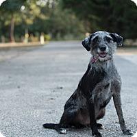 Irish Wolfhound/Catahoula Leopard Dog Mix Dog for adoption in Daleville, Alabama - Duchess