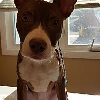 Adopt A Pet :: Violet - Aurora, IL