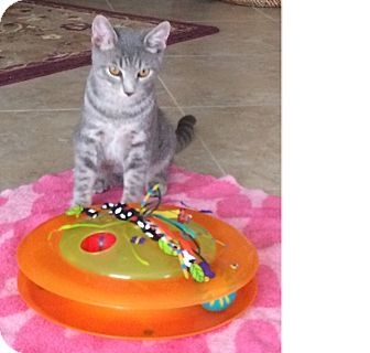 Domestic Shorthair Cat for adoption in Delray Beach, Florida - Breeze