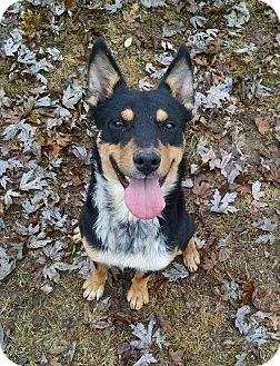 Cattle Dog/Doberman Pinscher Mix Dog for adoption in Foster, Rhode Island - Saint