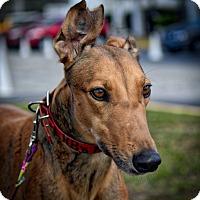 Adopt A Pet :: KB's Klinger - Sarasota, FL