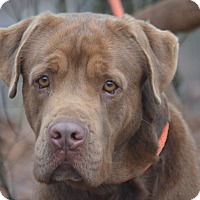 Adopt A Pet :: Bear - Sparta, NJ