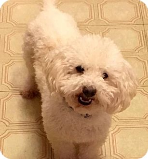 Toy Poodle Mix Dog for adoption in McKinney, Texas - Gus