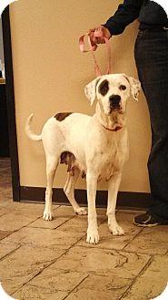 American Bulldog/Labrador Retriever Mix Dog for adoption in Oviedo, Florida - Molly
