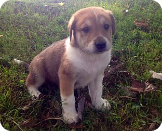 Australian Cattle Dog/Siberian Husky Mix Puppy for adoption in Marlton, New Jersey - Braden