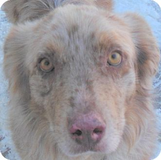 Australian Shepherd Mix Dog for adoption in MINNEAPOLIS, Kansas - Rocky
