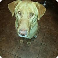 Adopt A Pet :: Wyatt - Wappingers, NY