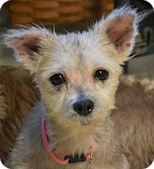 maltese yorkie mix rescue hagerstown md maltese yorkie yorkshire terrier mix 4364