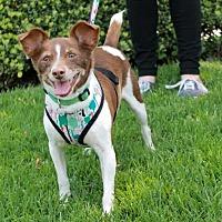 Adopt A Pet :: Gizmo - El Segundo, CA