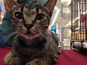 Domestic Mediumhair Cat for adoption in Orange City, Florida - Ruby