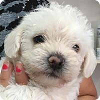 Adopt A Pet :: Maltipoo Puppies - San Marcos, CA