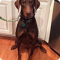 Adopt A Pet :: Gunnar - Alpharetta, GA