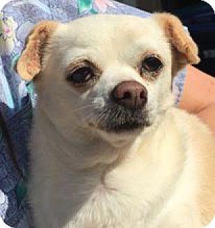 Chihuahua Mix Dog for adoption in Orlando, Florida - Peanut