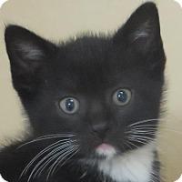 Adopt A Pet :: Tuxedo cutie - Lincolnton, NC