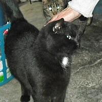 Domestic Shorthair Cat for adoption in Columbus, Ohio - Hank