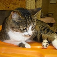 Adopt A Pet :: Miss Kitty - Spring Lake, NJ