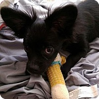 Adopt A Pet :: Scooter - Dixon, KY