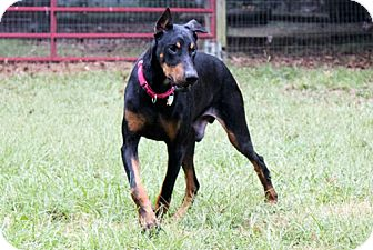 Doberman Pinscher Dog for adoption in Greensboro, North Carolina - CLETUS