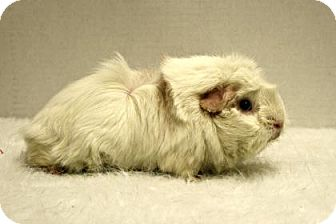 Guinea Pig for adoption in West Des Moines, Iowa - Charlotte