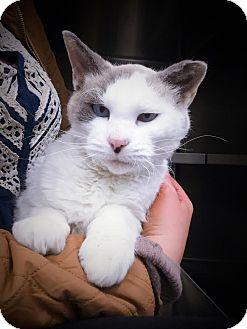 Domestic Shorthair Cat for adoption in Webster, Massachusetts - Herman