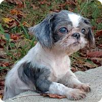 Adopt A Pet :: Snow White - Mooresville, NC