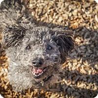 Poodle (Miniature) Dog for adoption in Petaluma, California - Scooter - 26096
