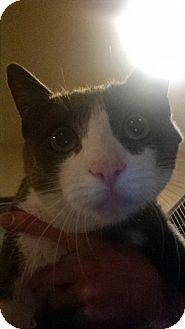 Domestic Shorthair Cat for adoption in Glendale, Arizona - Spitz