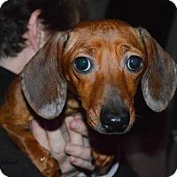 Adopt A Pet :: Autumn - Aurora, CO