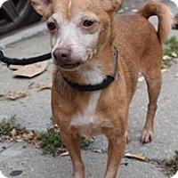 Adopt A Pet :: Creamcheese - Ozone Park, NY