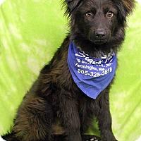 Adopt A Pet :: FUDGE - Westminster, CO