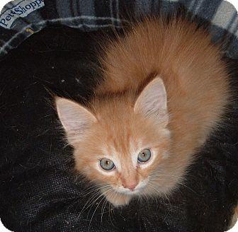 Manx Kitten for adoption in Acworth, Georgia - Billy Bob