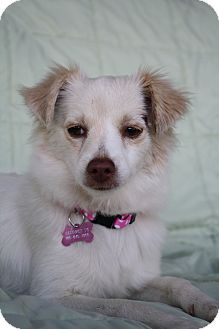 American Eskimo Dog/Spaniel (Unknown Type) Mix Puppy for adoption in san diego, California - Lily