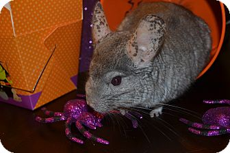 Chinchilla for adoption in Patchogue, New York - Byran