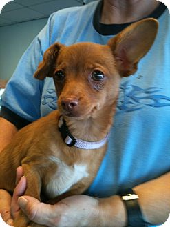 Terrier (Unknown Type, Small)/Chihuahua Mix Puppy for adoption in Phoenix, Arizona - Evie