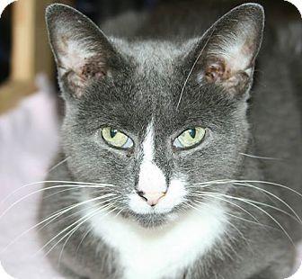 Domestic Shorthair Cat for adoption in Corinth, New York - Sasha