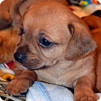 Adopt A Pet :: Copper - Bridgeton, MO