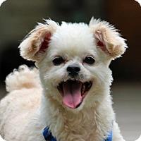 Adopt A Pet :: Phillip - Springfield, VA