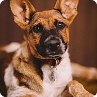 Adopt A Pet :: Shyla - Portland, OR