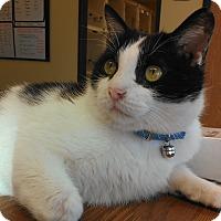 Adopt A Pet :: Mr. Mistoffelees - Larned, KS