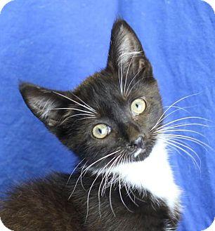 Domestic Shorthair Kitten for adoption in Winston-Salem, North Carolina - Perry