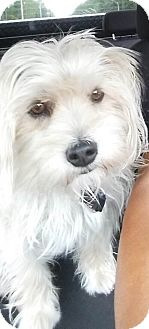 Yorkie, Yorkshire Terrier/Maltese Mix Dog for adoption in San Diego, California - Sky