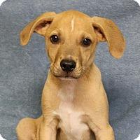 Adopt A Pet :: Arlo - Joplin, MO
