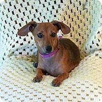 Dachshund/Chihuahua Mix Puppy for adoption in Palestine, Texas - Gretchen doxie mix puppy