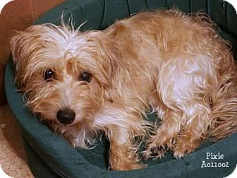 Cairn Terrier/Dachshund Mix Dog for adoption in Conroe, Texas - Pixie