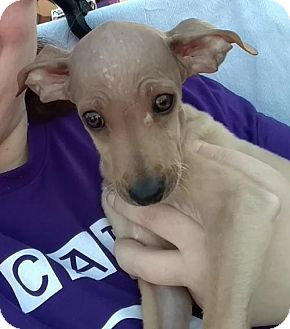 American Hairless Terrier Puppy for adoption in San Tan Valley, Arizona - Gucci